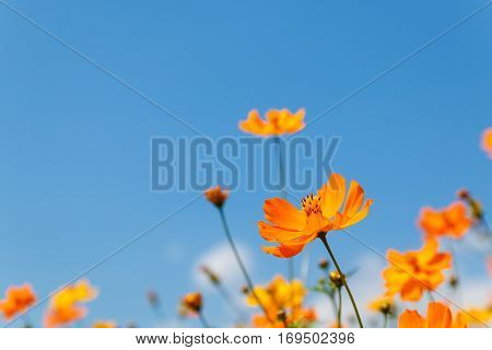 close up yellow cosmos flower on natural blue sky background