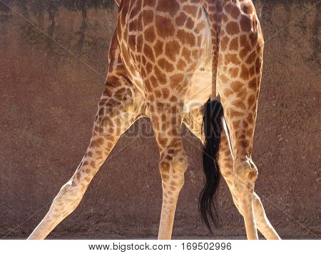Giraffe in zoo standing in an awkward position. About to do the splits. Acrobatic. Partial view from behind.