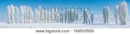 Winter landscape with frozen poplar trees