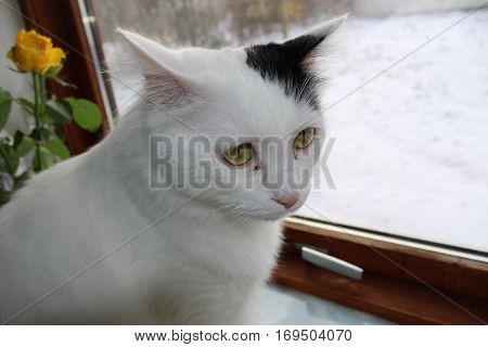 white og black cat breed Turkish Van Vankedisi or Turkish Angora snow outside the window