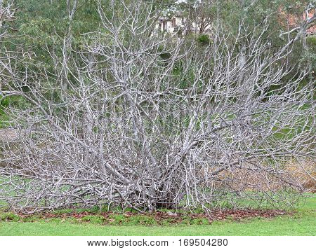 Barren fig tree branches in winter season grey gray garden