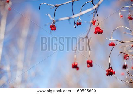 red berries on a tree in a sunny winter day with blue sky