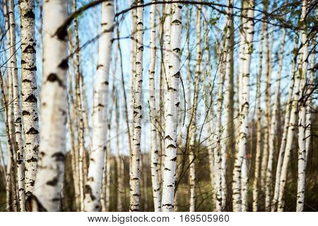 horizontal picture of early spring white birch forest