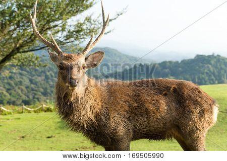 Stag Deer at mount wakakusa