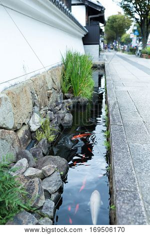 Koi fish in the roadside