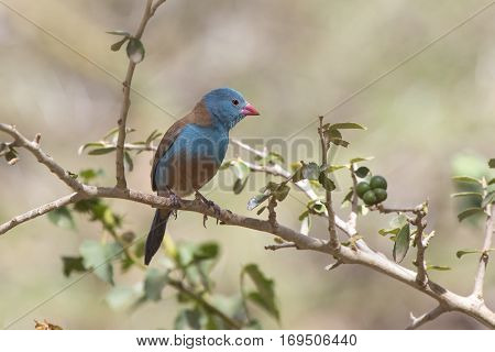 Blue-capped Cordon-bleu Uraeginthus cyanocephalus male sitting on a branch on a sunny day