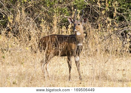 Bushbuck male standing among the bushes in the Ugandan bush sunny day