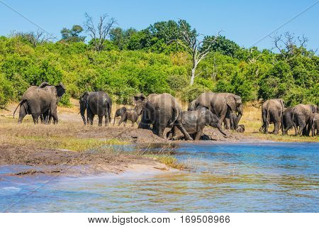Watering in the Okavango Delta, Africa. Herd of elephants adults and cubs crossing river in shallow water. The oldest national park in Botswana - Chobe National Park. The concept of active tourism