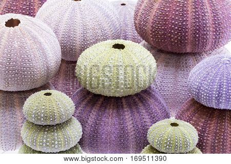 Group of sea shells of sea urchin ( Echinoidea) background.
