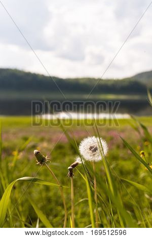 Landscape with dandelion. Tunguska river. Krasnoyarsk territory.
