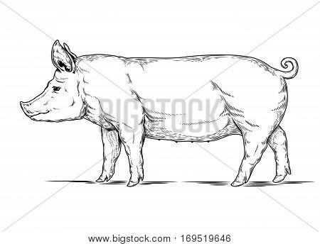 illustration of a pig is made in the style of engraving
