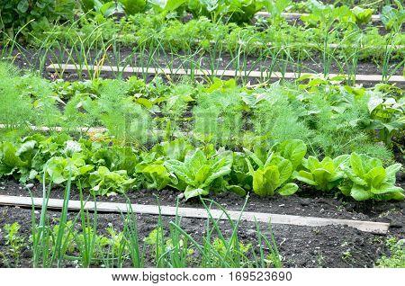 Lettuce plants on a vegetable garden ground