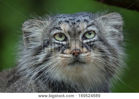 Pallas's cat (Otocolobus manul), also known as the manul.