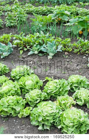 Lettuce on a vegetable garden ground with other vegetables in the background.