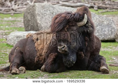 Wood bison (Bison bison athabascae), also known as the mountain bison.