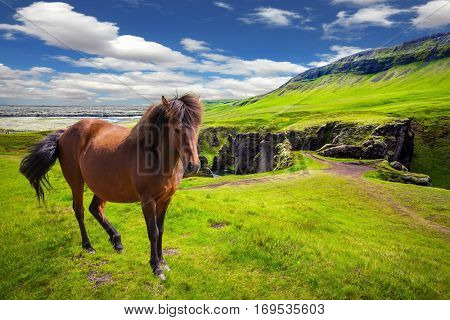 The striking canyon in Iceland. The Icelandic Tundra in July. Bizarre shape of cliffs surround the stream with glacial water. Thoroughbred horse grazes on a cliff