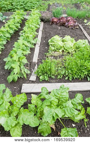 Fresh spinach, string bean plants and other vegetables on a vegetable garden ground