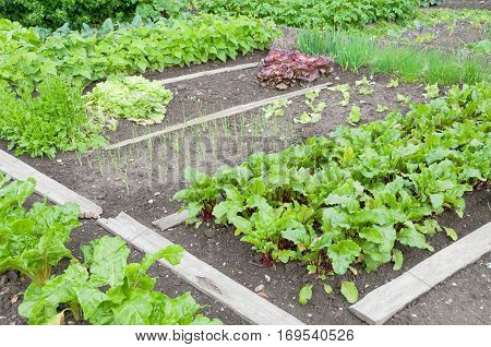 Fresh beetroot plants on a vegetable garden ground with other vegetables in the background
