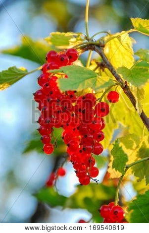 Redcurrant fruit close up with summer sun rays