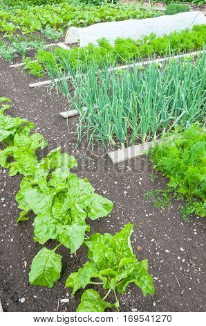 Spinach and onion plants  on a vegetable garden ground with other vegetables in the background