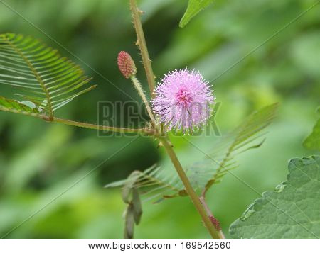 Mimosa flower in the garden is  efflorescent