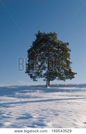 Solitary tree in the snow covered hillside with deep blue sky, loneliness concept