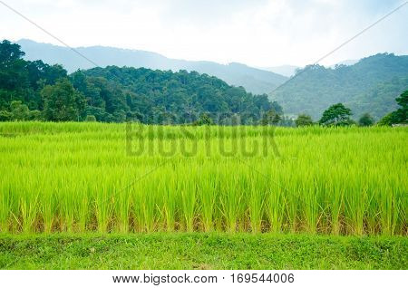 Young terrace rice plantation in a Karen village, Thailand