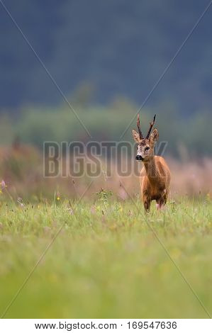 Buck deer in the wild in a clearing