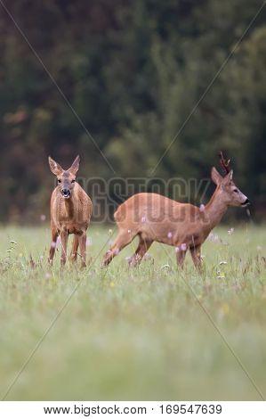 Roe-deer with buck deer in the wild
