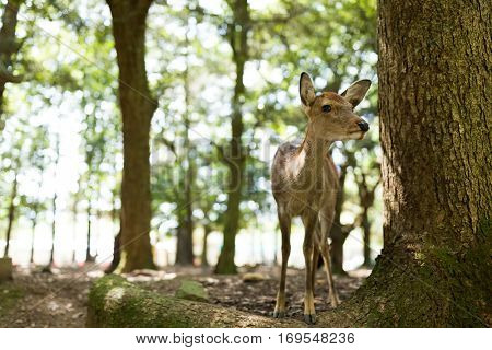 Wild deer in Nara Park