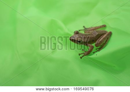 Little frog on a green leaf after the rain