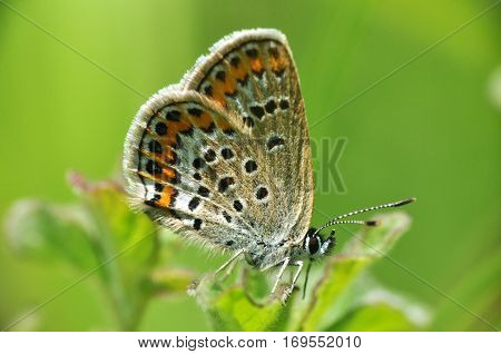 Plebejus argus, Silver Studded Blue butterfly in natural habitat with a green background