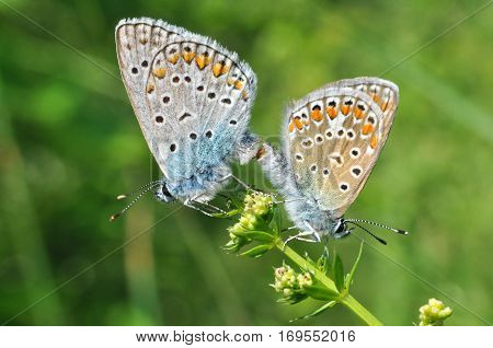 Polyommatus icarus, Common Blue butterflies mating on wild flower. Love of butterflies.