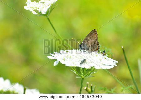 Satyrium acaciae, Sloe Hairstreak butterfly  in wild meadow