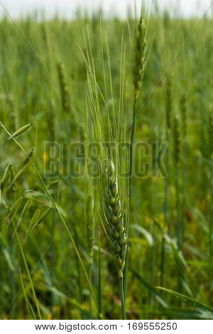 Wheat ears mature on the field. Sunny summer day.