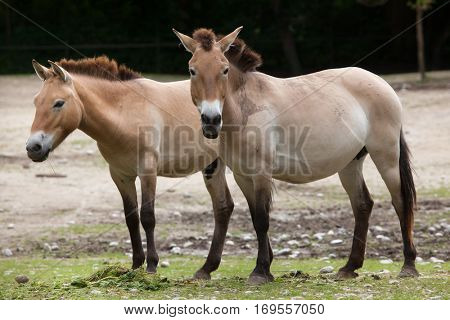Przewalski's horse (Equus ferus przewalskii), also known as the Asian wild horse.