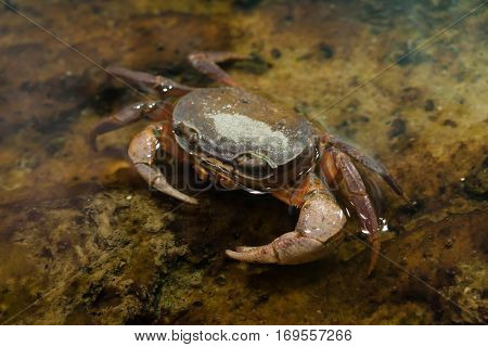 Blackback land crab (Gecarcinus lateralis), also known as the Bermuda land crab.