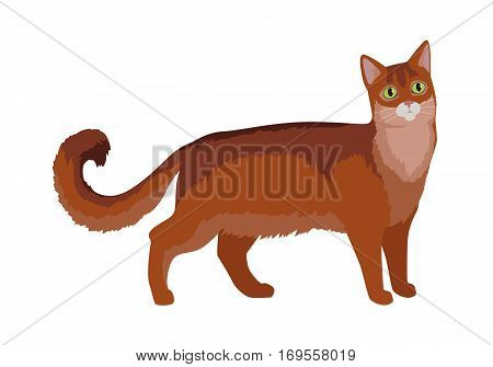 Somali cat breed. Cute fluffy red cat standing flat vector illustration isolated on white background. Purebred pet. Domestic friend and companion animal. For pet shop ad, hobby concept, breeding