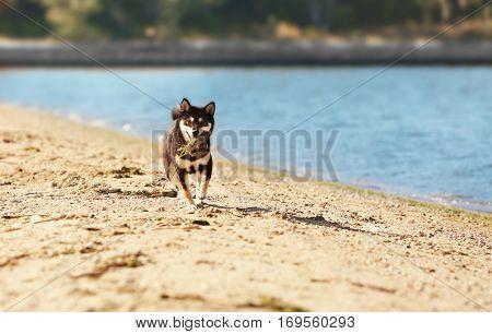 Woman with cute little Shiba Inu dog at riverside