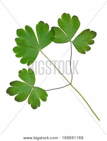 Pressed and dried leaves of aquilegia vulgaris isolated on white background. For use in scrapbooking floristry (oshibana) or herbarium.