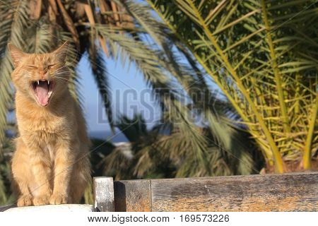 Red-headed tabby cat on green background, cat sits on wooden fence with mouth open making loud meowing, screaming funny cat, singing cat