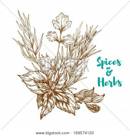Spices and aromatic herbs sketch of basil or mint leaves, tarragon or rosemary and cardamom or cardamon seeds. Herbal spicy culinary condiments or aroma flavoring plants for grocery store, farmer market or product pack design