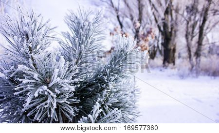 pine in hoarfrost. Winter nature. pine in hoarfrost. Winter nature.