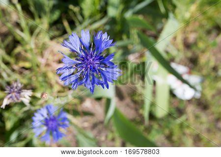 Flowering bue cornflower or centaurea cyanus in full bloom
