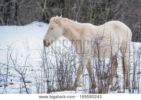 Beautiful albino horse grazing in winter mountain forest