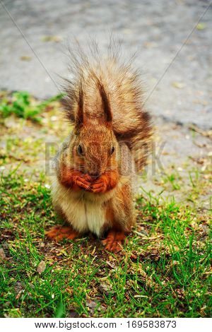 Squirrel gnaws nuts in the woods. Animal in wild nature.