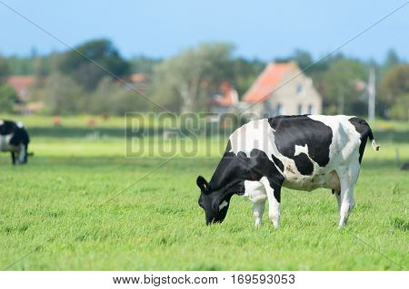 Dutch cow in green meadows on wadden island Terschelling