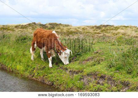 Brittain Hereford cow in Dutch landscape with dunes