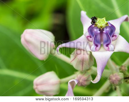 Light violet color of crown flower panicle