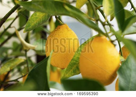 Fresh and rip lemon on the lemon tree.